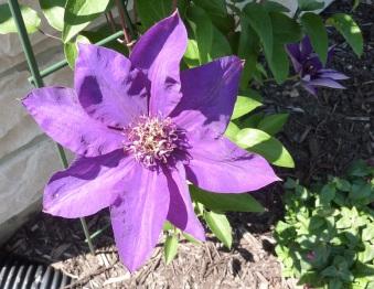 purple closeup
