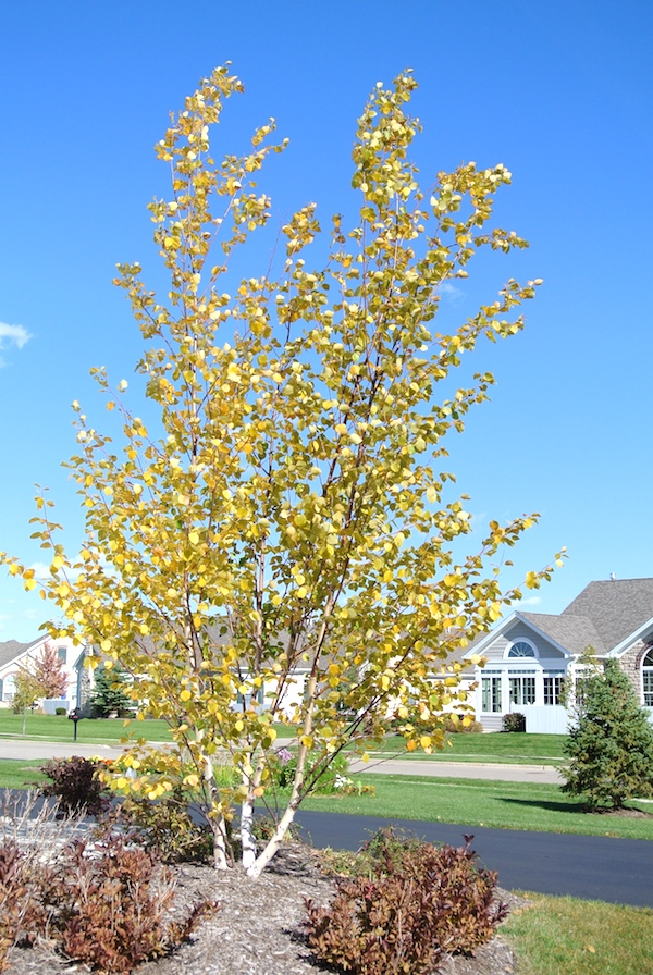 yellowtree
